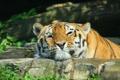 Картинка взгляд, морда, тигр, хищник, довольный, греется