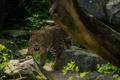 Картинка морда, камни, заросли, хищник, леопард, дикая кошка