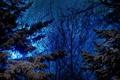 Картинка небо, синее, вечер, ели, деревья, хвойные, природа