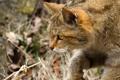 Картинка дикий кот, морда, лесной кот, профиль, кошка