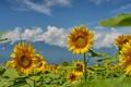 Картинка поле, лето, небо, подсолнухи