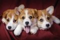 Картинка dogs, corgi, pembrok2