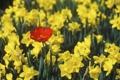 Картинка бутоны, тюльпан, весна, лепестки, нарциссы, листья, природа