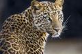 Картинка ©Tambako The Jaguar, кошка, взгляд, леопард
