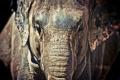 Картинка морда, слон, хобот