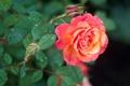 Картинка листья, капли, роза, бутоны
