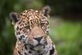 Картинка кошка, взгляд, морда, интерес, ягуар