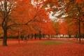 Картинка осень, клены, красное