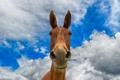 Картинка небо, морда, конь