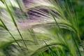 Картинка растение, метелка, зеленый