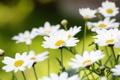 Картинка зелень, поле, лето, цветы, природа, ромашки, размытость