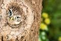 Картинка природа, птица, Little Owl