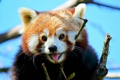 Картинка красная панда, мордашка, малая панда