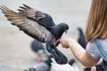 Картинка голубь, рука, крылья, Птица