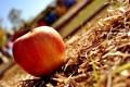 Картинка трава, солнце, макро, красное, яблоко