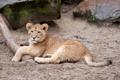 Картинка львёнок, лев, кошка