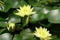 Картинка flowers, water lily, water flower