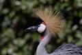 Картинка птица, профиль, журавль, венценосный