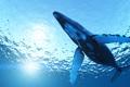 Картинка море, блики, горбатый кит, megaptera novaeangliae