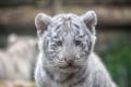 Картинка дикая кошка, детеныш, мордочка, тигренок, морда, котенок, белый тигр