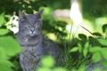 Картинка листья, кот, зеленые, природа, кошка, фокус