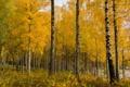 Картинка осень, лес, листья, березы, роща