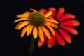 Картинка цветок, фон, лепестки, эхинацея