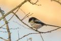 Картинка птица, живая природа, ветка, синица