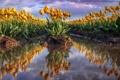 Картинка природа, тюльпаны, цветы
