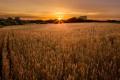 Картинка поле, небо, солнце, пейзаж, колоски