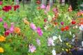Картинка растение, лепестки, сад, клумба