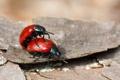 Картинка макро, насекомые, жуки