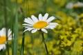 Картинка растения, ромашка, Цветы, природа