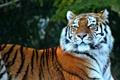 Картинка тигр, хищник, лежит