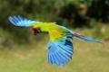 Картинка птица, крылья, попугай, полёт, Солдатский ара