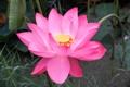 Картинка цветок, розовый, лотос