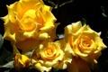 Картинка солнце, ярко, желтые, лепестки, листья, розы, свет