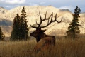 Картинка олень, рога, самец