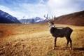 Картинка олень, горы, рога, трава, сухая