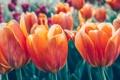 Картинка цветы, фон, весна, тюльпаны, розмытие