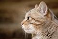 Картинка морда, профиль, дикий кот, европейская кошка