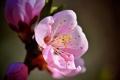 Картинка макро, цветы, ветка, весна, розовые