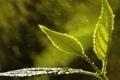 Картинка листья, капли, Макро, ростение