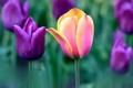 Картинка тюльпаны, стебель, сад, природа, луг, лепестки
