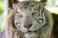 Картинка белый тигр, морда, ©Tambako The Jaguar, кошка