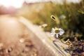 Картинка макро, природа, улица, ромашка