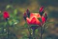 Картинка цветок, роза, красные, бутоны