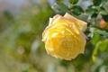 Картинка макро, роза, лепестки, бутон, жёлтая