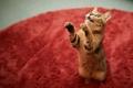 Картинка кошка, кот, красный, поза, ковер