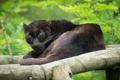 Картинка чёрный леопард, бревно, пантера, отдых, взгляд, кошка